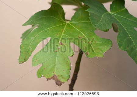 Plant Disease. Septoria leaf spot symptoms on fig tree.