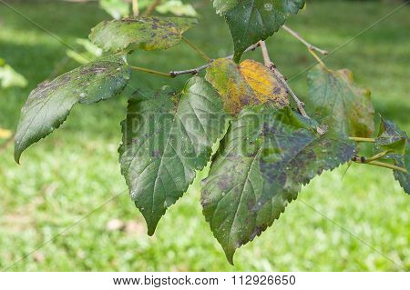 Plant Disease. Black rusty leaf spot symptoms on mulberry tree.