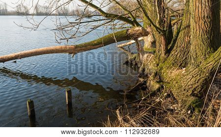Bare Tree Felled By The Wild Beavers