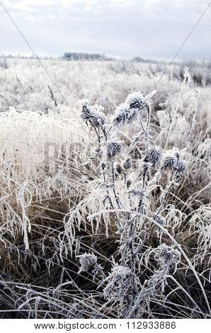 Plants With Frost In Frozen Wintery Field