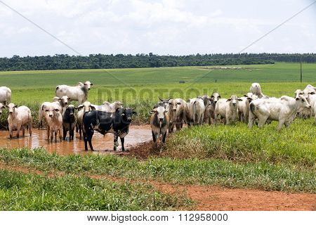 Cattle In Pasture