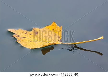 Autumn leaves on the surface of the water strider poster