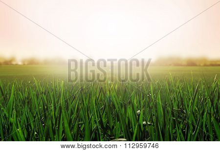 Grass background. Sunny and peaceful landscape of grass blades and blurred pink background