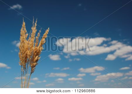 Several Reed Panicles On A Blue Sky