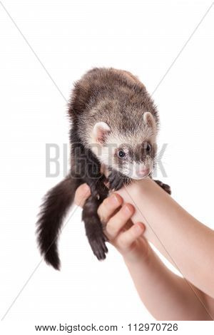 Portrait Of Domestic Polecat