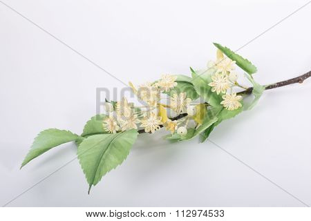 The branch of a linden