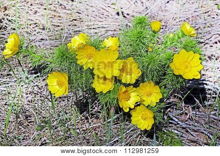 Adonis  A Genus Of Plants Of The Family Lutikova (Ranunculaceae)