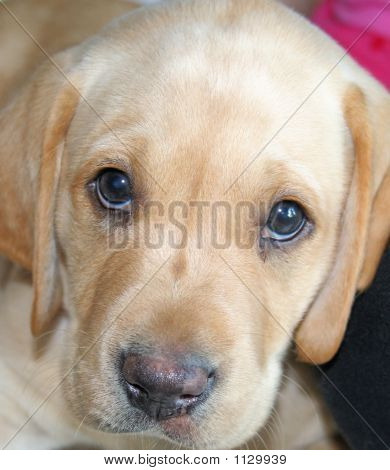 closeup of yellow lab puppy looking sad poster
