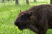 The european bison in a nursery Russia poster
