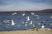 sea gulls at the edge of the beach taking flight poster