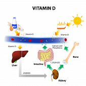 Vitamin D. Foods contain vitamin D. Skin absorbs solar UVB radiation and synthesis of vitamin D. Calcium homeostasis and metabolism. poster