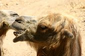 photo of kissing camels on a sandy background poster