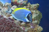 "acanthurus leucosternon ""surgeon"" -tropical fish underwater life of the exotic seas poster"