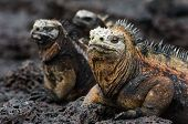 Group of marine iguanas are heated under the sun on stony coast. poster