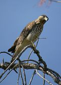 (hawk sitting on branch) thank you for looking poster