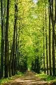 Walkway Lane Path With Green Trees in Forest. Beautiful Alley, road In Park. Way Through Summer Forest. poster
