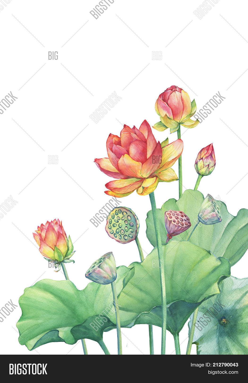 Banner border pink lotus flower image photo bigstock banner border of pink lotus flower with leaves seed head bud water izmirmasajfo