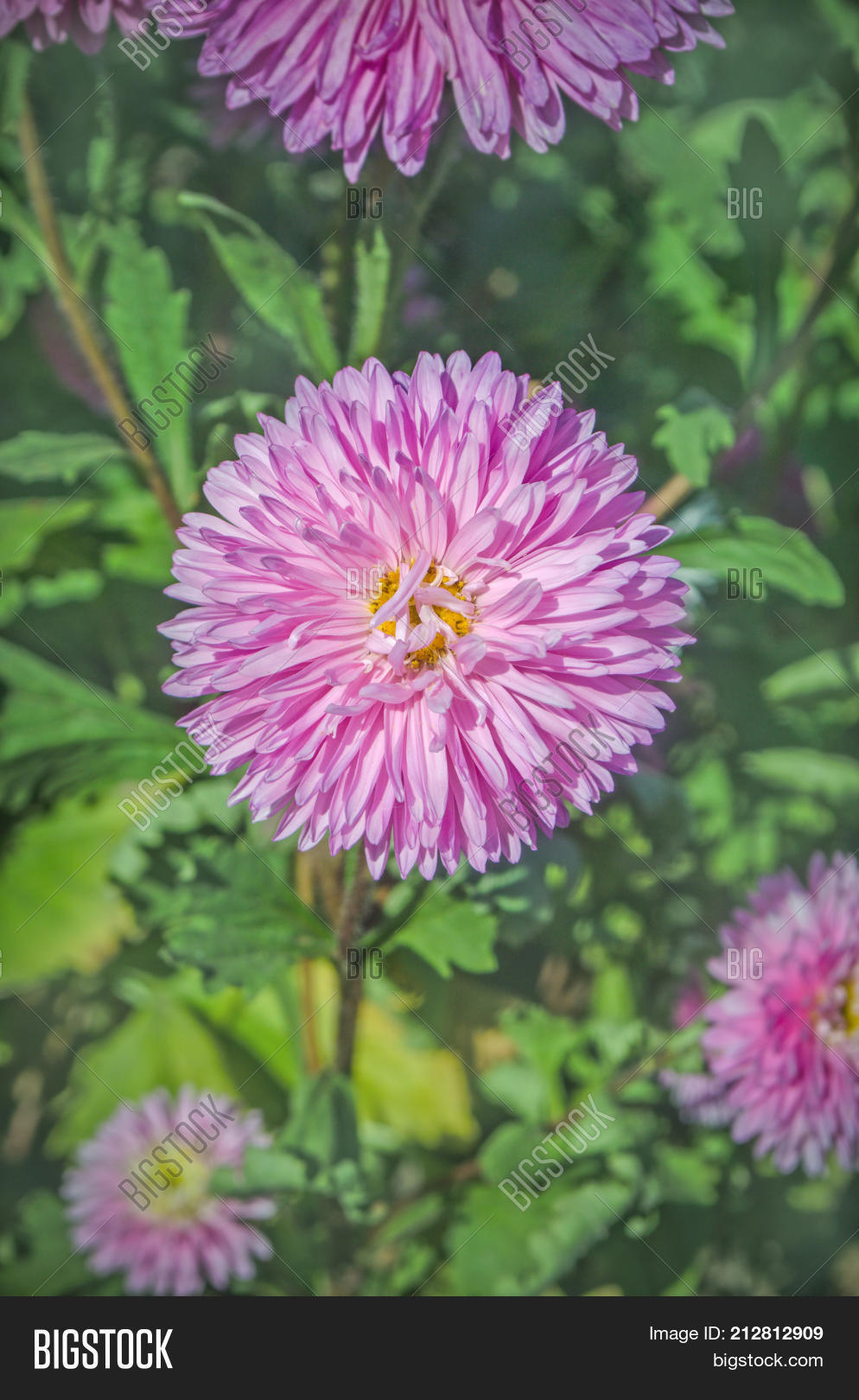Beautiful Pink Aster Image Photo Free Trial Bigstock