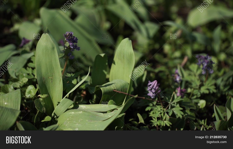 Lily valley convallaria majalis image photo bigstock lily of the valley convallaria majalis purple flowers purple lily of the valley on grass izmirmasajfo Gallery