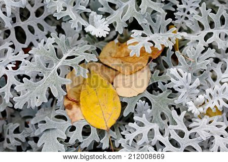 Autumn contrast nature concept. Beautiful textured brown yellow leaves on decorative silvery wooly curly leaf plant Jacobaea maritima Senecio cineraria. Macro selective focus, shallow depth of field.