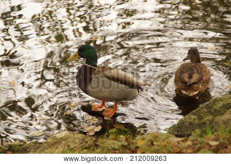 A duck in the water, the duck at the water's edge - France Photo taken outdoor, of day and without character.