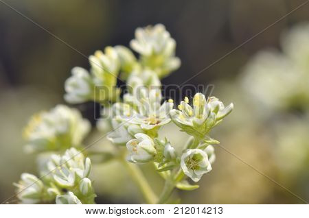Macro Bittercress flower Cardamine hirsuta, close up
