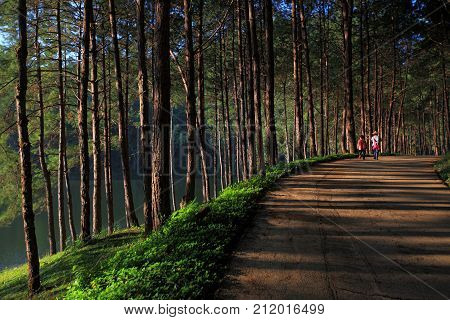 Two tourists are walking on the road with a beautiful pine forest on the side at Pang-Ung which a famous northern Thailand tourist destination.