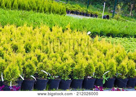 Many pots with Thuja occidentalis sold in garden center. Also known as Northern White Cedar eastern arborvitae Eastern White Cedar Arborvitae Eastern Arborvitae Swamp Cedar tree