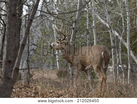White-tailed deer buck standing in the forest during the rut