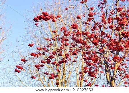 Rowanberry tree without leaves with red berries on blue sky background at autumn.