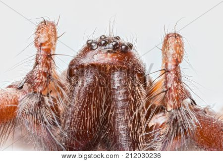 Stacked macro of the head of Domestic House Spider (Tegenaria domestica) showing eight eyes palps and jaws