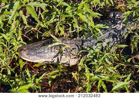 American alligator (Alligator mississippiensis) in the swamps at Lake Cypress near Kissimmee in central Florida USA