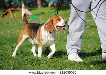 canine obedience education with a beagle dog on leash for the foot suite