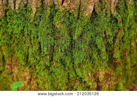 Close Up Texture Of An Old Wood Bark With Green Moss