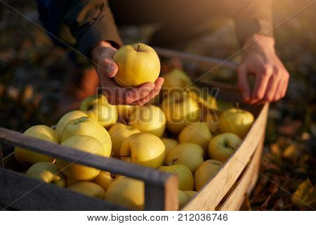 Man with wooden box of yellow ripe golden apples in the orchard farm. Grower harvesting in the garden is holding organic apple above the crate. Harvest autumn concept.
