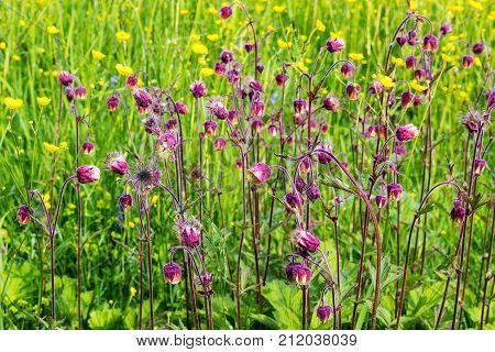 Summer Field Flowers, Buttercups, Forget-me-nots, Thorns, High Juicy Grass