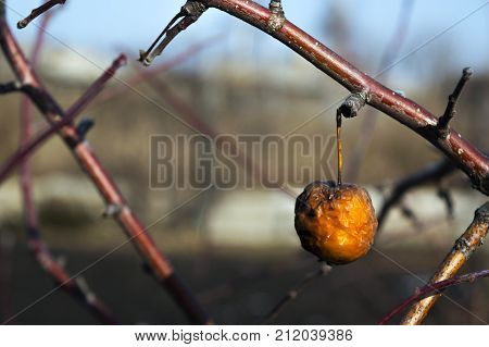 The last rotten apple remained to hang on the apple tree