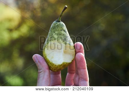 Wild Sweet Pear Nibble In Man Hands