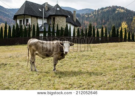 cow grazes on the background of a mountain estate and a rural landscape