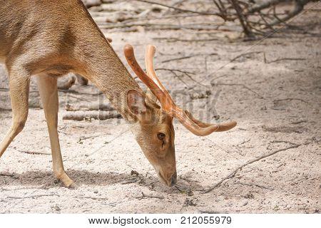 A tropical Eld's deer in the zoo