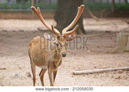 Male tropical Eld's deer in an open zoo