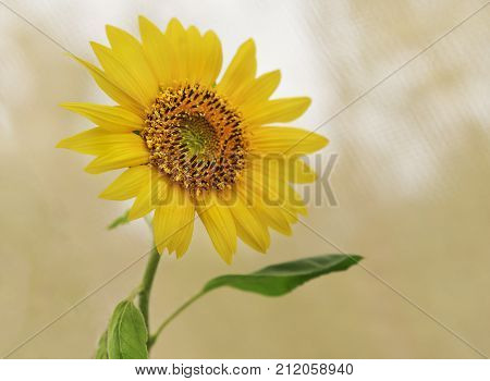 The very spiritual yellow sunflower looking upwards representing auspicious good luck long life bounty harvest adoration loyalty and longevity concepts poster