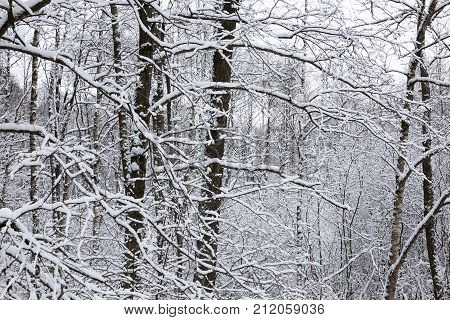 bare maple trunks under the snow in winter, wildlife, close-up