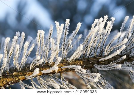part of the pine branch in the winter frost, frost in the nature