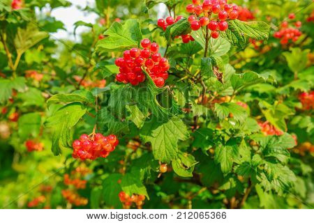 Bright Red Berries Of A Guelder-rose Or Viburnum Opulus Bush On A Sunny Day In The Dutch Summer Seas