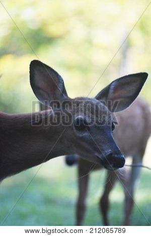 Face Photo Of A Young Deer In The Wild