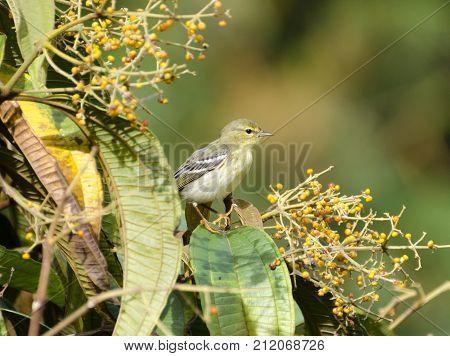 Blackpoll Warbler 01