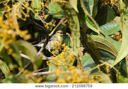 Blackpoll Warbler 04