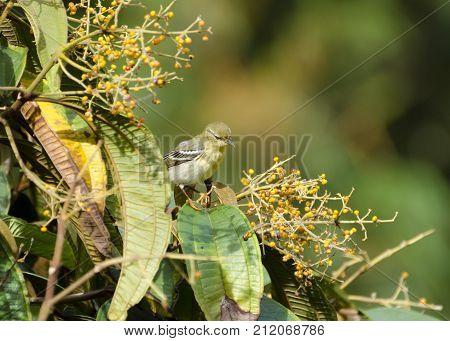 Blackpoll Warbler 07