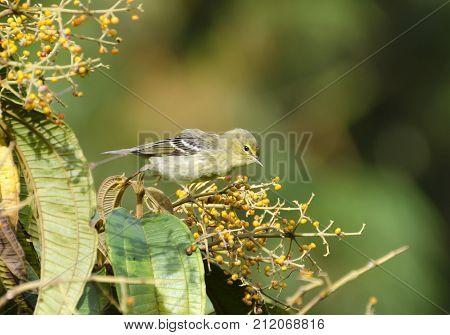 Migrating Blackpoll Warbler Dendroica castanea taking flight